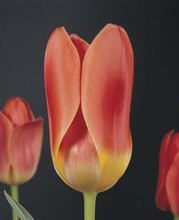 Tulip Dreamboat pink yellow