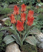Tulip Red Riding Hood red