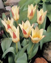 Tulip Johann Strauss yellow red