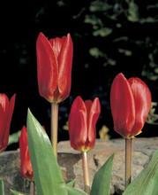 Tulip Showwinner deep red