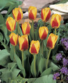 Tulip Stresa red edged yellow