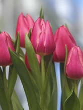 Tulip Christmas Marvel cherry pink