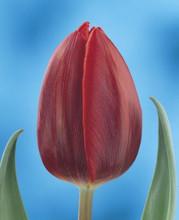 Tulip Couleur Cardinal bright scarlet