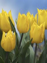 Tulip Yokohama yellow