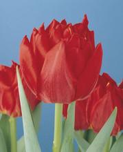 Tulip Abba scarlet