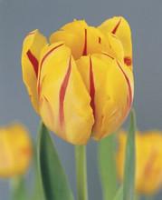 Tulip Monsella red yellow