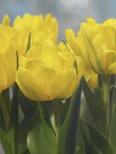 Tulip Monte Carlo soft yellow