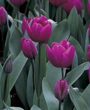 Tulip Blue Ribbon blue
