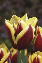 Tulip Gavota maroon yel. Edge