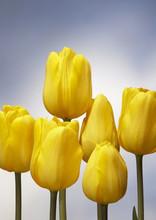 Tulip Jan Van Ness yellow