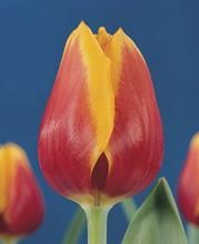Tulip Kees Nelis red yellow edge