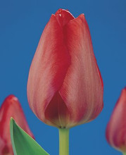 Tulipa van Eyk