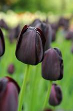 Tulip Queen of Night maroon black