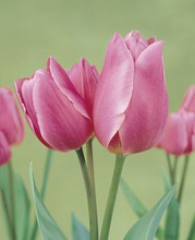 Tulip Happy Family pink