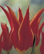 Tulipa Aladdin