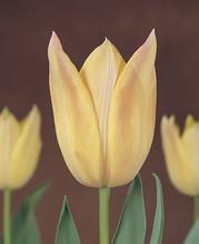 Tulip Elegant Lady cream white pink