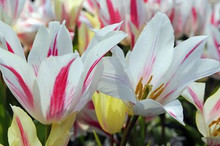 Tulip Marilyn white pink