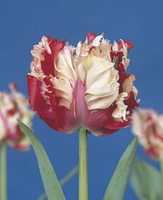 Tulip Estella Rijnveld red flamed white