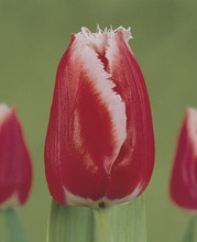 Tulip Canasta red-white 10_bulbs