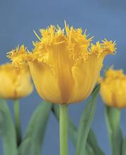 Tulip Hamilton buttercup yellow