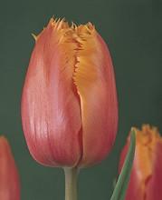 Tulip Lambada orange