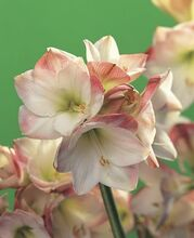 Amaryllis Apple Blossom white pink