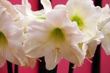 Amaryllis Christmas Gift pure white