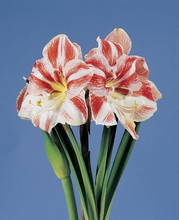 Amaryllis Clown striped