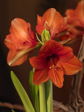 Amaryllis Orange Souvereign Orange