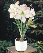 Amaryllis Picotee white pink edge
