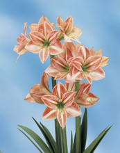 Amaryllis Fairy Tale miniature amaryllis red white