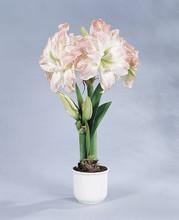 Amaryllis Aphrodite double amaryllis pink white