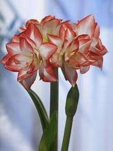 Amaryllis Double Record double amaryllis pink white