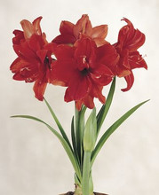 Amaryllis Red Peacock double amaryllis red