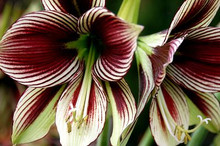 Butterfly Amaryllis Papillio red white