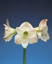 Amaryllis Apple Blossom supersize amaryllis white pink