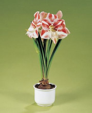 Amaryllis Clown supersize amaryllis striped