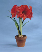 Amaryllis Orange Souvereign supersize amaryllis orange