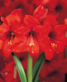 Amaryllis Red Lion supersize hippeastrum amaryllis red