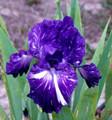 Iris Out of Control white on dark giant bearded 15_perennials