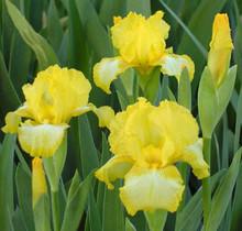 Iris Sunshine and Snow yellow white giant bearded