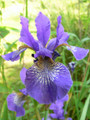 Iris Voltage blue white giant bearded 15_perennials