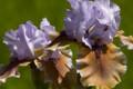 Iris Witching white purple giant bearded 15_perennials