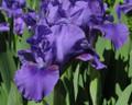 Iris Banburry Ruffles purple giant bearded 15_perennials