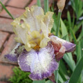 Iris Ominous Stranger yellow red edge giant bearded