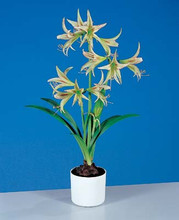 Amaryllis Emerald miniature green