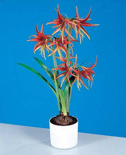 La Paz Miniature Amaryllis red green