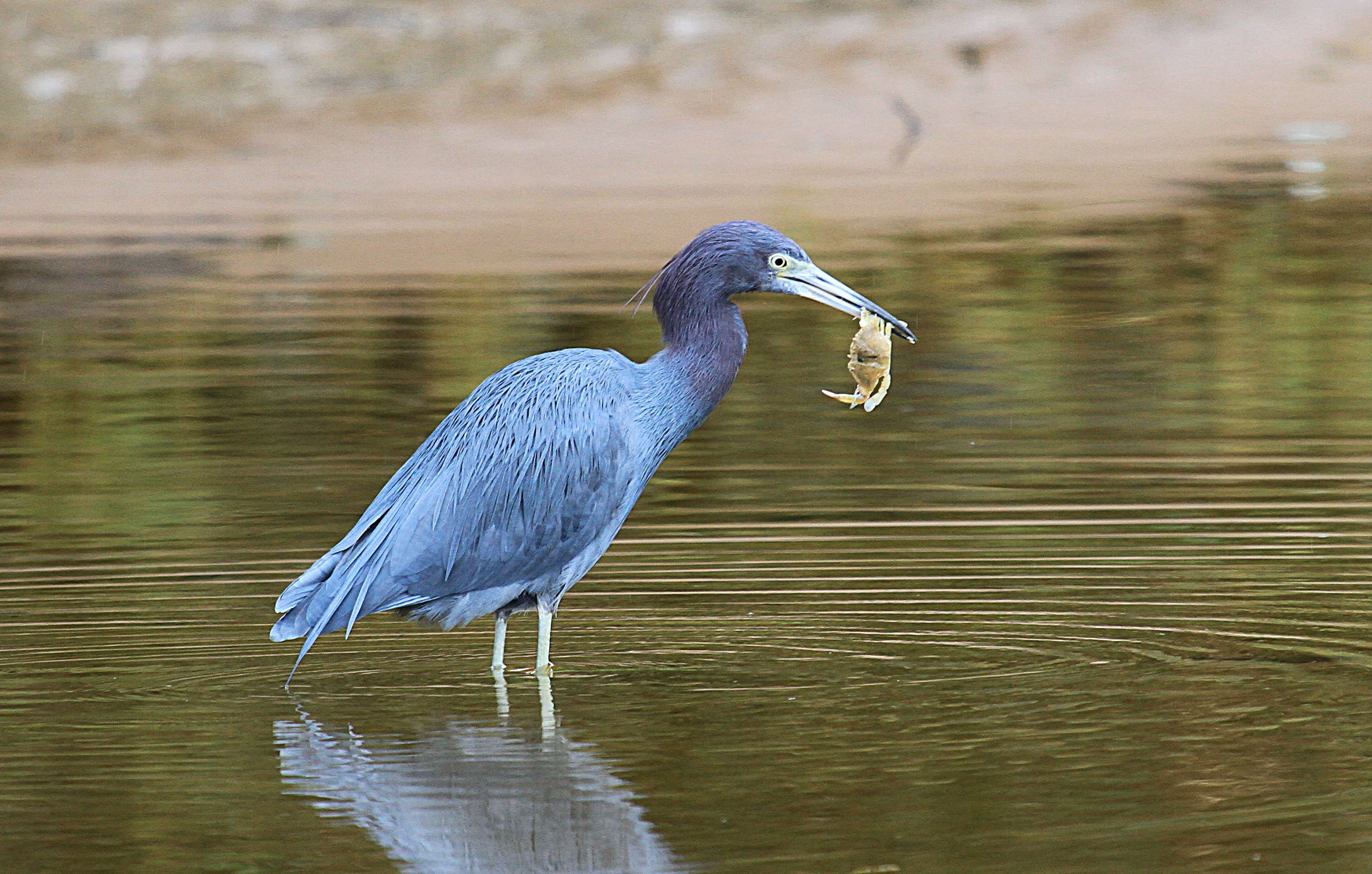 florida helicopter tour with Little Blue Heron on Things To Do In Miami besides 2131071847210442301 furthermore Palm Beach likewise Universal Studios Los Angeles as well Belize Barrier Reef.