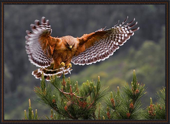 Red-shouldered Hawk - Everglades National Park