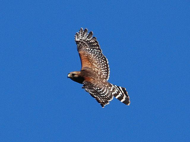 Everglades Tours | Red Shouldered Hawk